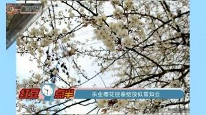 乐业樱花迎春绽放似雪如云