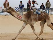 埃及举办国际骆驼赛