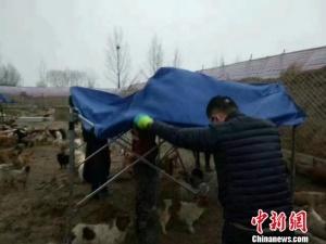大雪过后内蒙古3000只流浪狗睡泥塘 网友开展营救