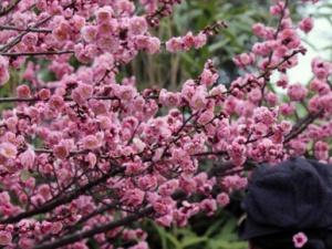 中国梅花之乡举行梅花节