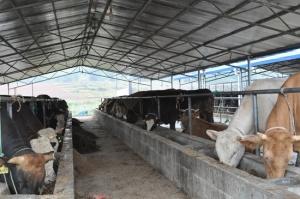 澄泰乡:山水牛扶贫养殖产业显成效