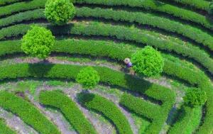 龙胜:谷雨时节茶农采茶忙(图)