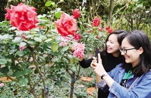 青秀山将举办玫瑰花展