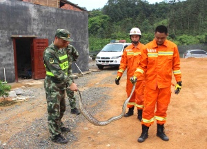 高清:8斤重2米多长蟒蛇闯入肉鸡养殖场