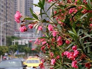 南宁街头开花乔木绽放 满街红粉绯绯(组图)