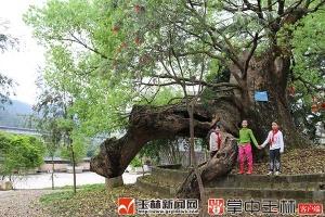 360年树龄 容县大坡村有棵百年香樟