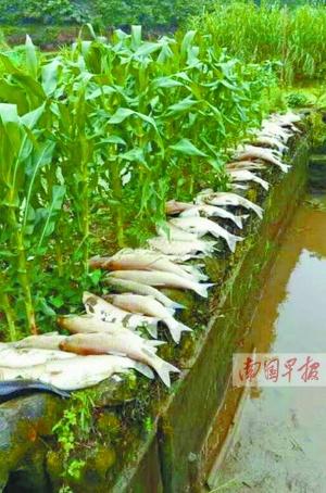浦北两熊孩子洗农药瓶 下游鱼塘一片翻白(图)