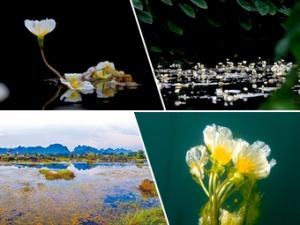 高清:都安澄江国家湿地公园 珍稀花儿随处开