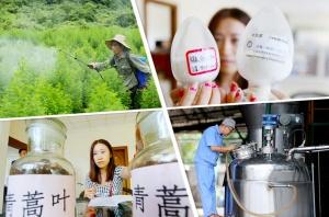 高清:青蒿素走出国门受欢迎 促融安农民脱贫致富