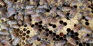 你吃的真是蜂蜜?蜂蜜与花蜜有区别(图)