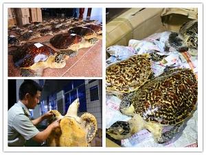 防城港边检查获38具玳瑁标本(组图)