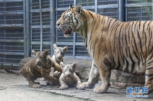 山东济南:三胞胎虎宝宝与游客见面(组图)