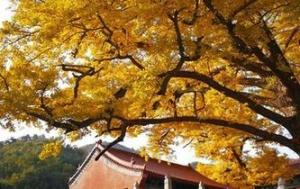 """二千八百余岁银杏古树""""披金""""蔚为壮观"""