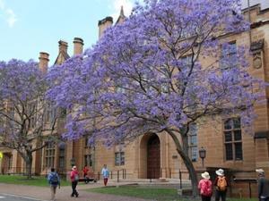 澳大利亚蓝花楹满城绽放