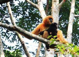 濒危物种海南长臂猿发现新雌性独猿 有助种群恢复