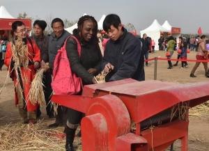 北京顺义:收割水稻 体验农耕文化