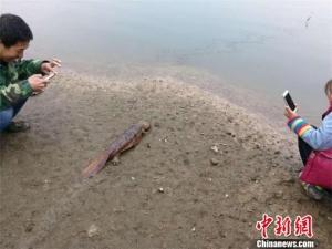 一对夫妻修下水道掏出娃娃鱼 上交野生动物保护站