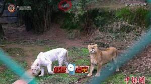 重庆动物园老虎一掌打翻无人机