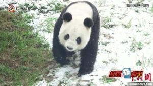 神农架大熊猫雪地自嗨