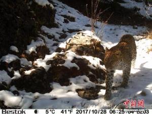 监测显示青海囊谦是三江源区域金钱豹重要栖息地