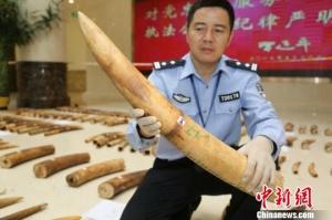 南宁海关查获非洲象牙原牙165根(段)