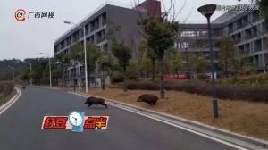 环境太好了!南京一大学出现一群野猪瞎溜达