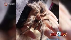 女子竟把红蜘蛛当宠物养