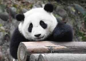 """探访""""熊猫幼儿园"""""""
