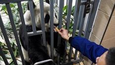 大熊猫的冬日生活