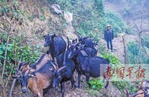 西林县万余扶贫羊
