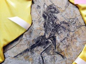 8块流落欧洲的恐龙和鸟化石万里归乡