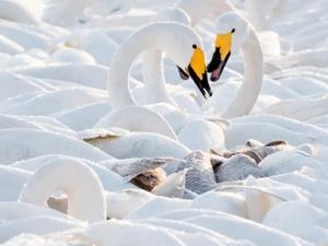 高清组图:雪后大天鹅悠然嬉戏美不胜收