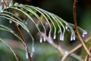 高清组图:融安现低温冰冻天气 植物上出现覆冰