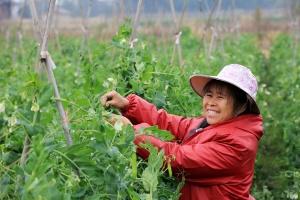 融安:农民田间采收蔬菜供京沪(组图)