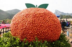 环江:橘柑打擂迎新春(组图)