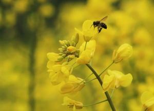 融安:油菜花陆续开放 蜜蜂油菜花中采蜜忙(组图)