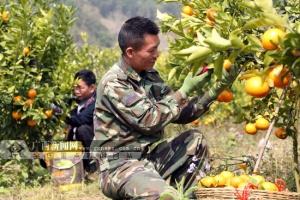 百色右江区安屯村100余吨沃柑供应春节市场(图)