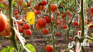 """德州""""十八罗汉""""大棚里种番茄 人人都是乡村振兴生力军"""