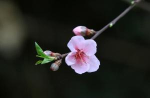 融安:花开春意浓 乡间田野春意盎然(组图)