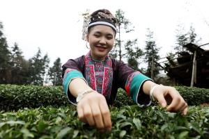 高清:三江采茶仙子颜值爆表 整个茶园都沸腾了!
