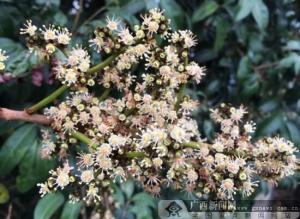 灵山荔枝花盛开兆丰年 产量有望大幅增长(图)