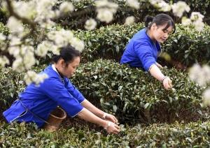 三江:深山茶园嫩芽勃发 茶农梨花树下采茶忙(图)