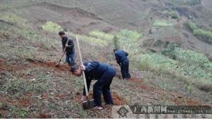 那坡路政执法大队开展植树活动 助推结对帮扶贫困户脱贫致富