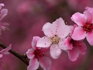 桂林灵川桃花朵朵开(组图)