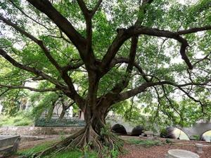 高清组图:南宁西园饭店将改造 古树获原地保护