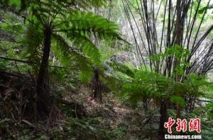 广西贺州发现罕见大面积天然桫椤树群(组图)