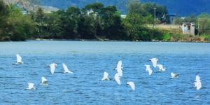 大批鹭鸟陆续飞抵 融江成鹭鸟栖息天堂(组图)