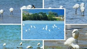 大批鹭鸟陆续飞抵 融江成鹭鸟栖息天堂
