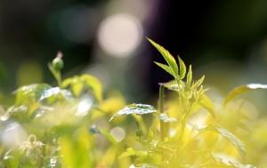 高清组图:春分到 融安茶农采茶忙