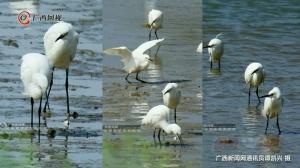好美!白菜网送彩金的这个地方竟是鹭鸟的栖息天堂
